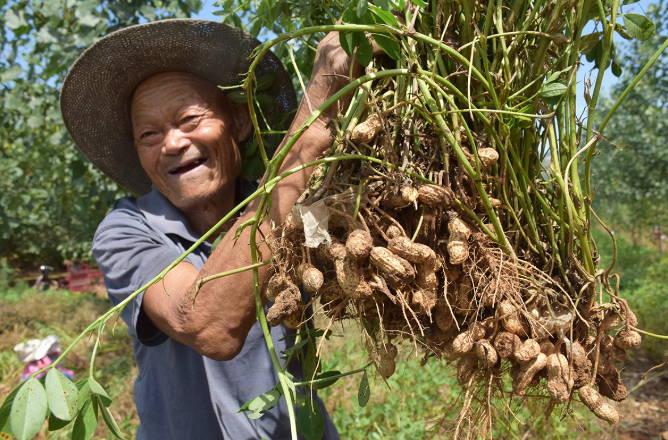 花生种植占山坡 农民增收香饽饽