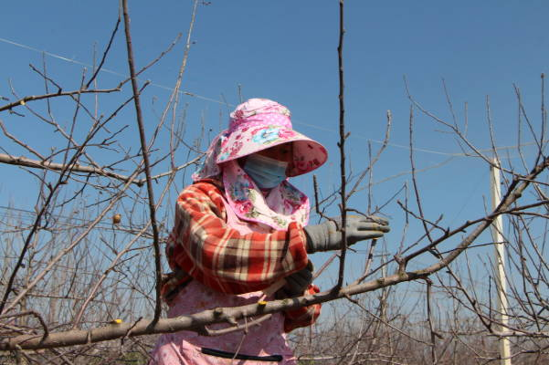 春来果园催农忙  ——郯城县花园镇积极开展春季果园管理