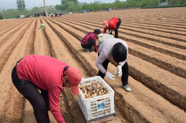 曲阜吴村镇:一村一品强集体 黄姜种植助增收