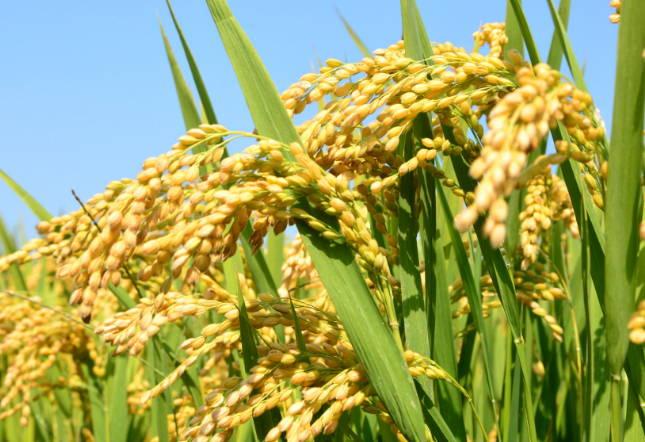 郯城县归昌乡万亩有机水稻长势良好丰收在望