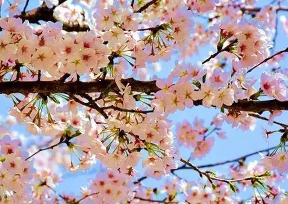 万株樱树十里花谷,来邹平赴一场樱花之约