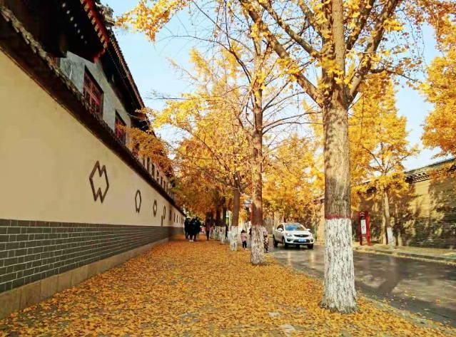 曲阜半壁街金黄的银杏叶 色彩靓丽渲染扮美圣城